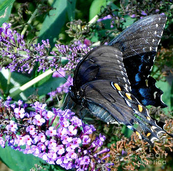 Profile of a Swallowtail by Eva Thomas