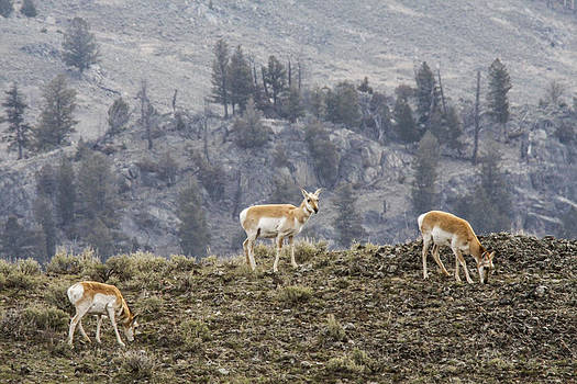 Pronghorn does by Jill Bell