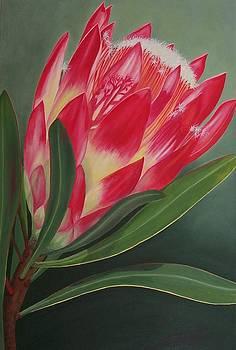 Protea Repens II by Pera  Schillings
