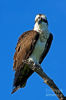 Jonathan E Whichard - PROTECTOR Osprey Pandion haliaetus