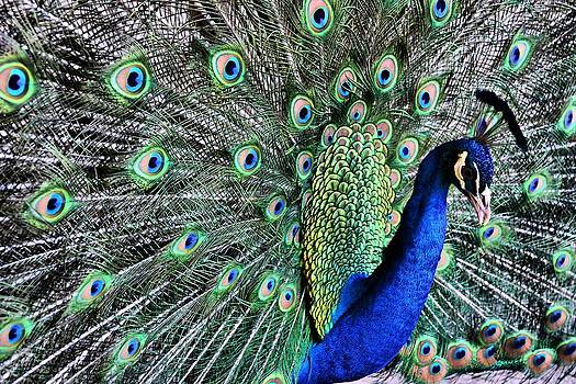 Proud as a Peacock by Karsun Designs Photography