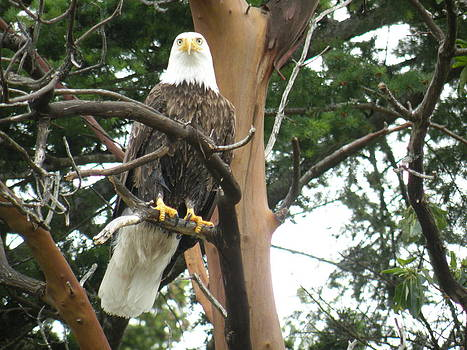 Proud Eagle by Wendy Brunell
