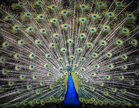 Proud peacock by Yvon van der Wijk