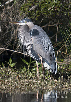 Dale Powell - Pround Blue Heron