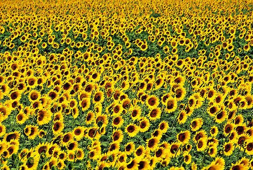 Dennis Cox - Provence sunflowers