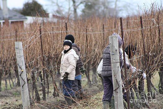 Steve Knapp - Pruning the vines