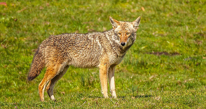 Kevin  Dietrich - Pt Reyes Coyote