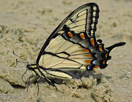 Lara Ellis - Puddling Eastern Tiger Swallowtail Butterfly