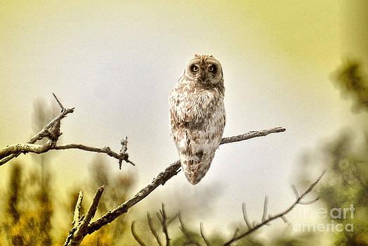 Pueo. Hawaiian owl by John Kenolio