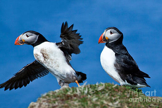 Puffins in the Scottish Islands by Christy Woodrow