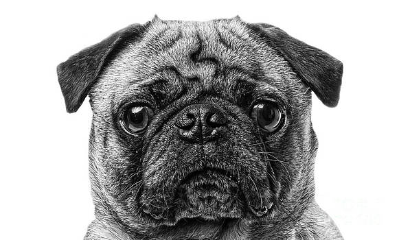 Edward Fielding - Pug Dog black and white