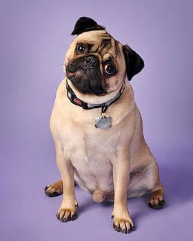 Pug on Purple by Rebecca Brittain