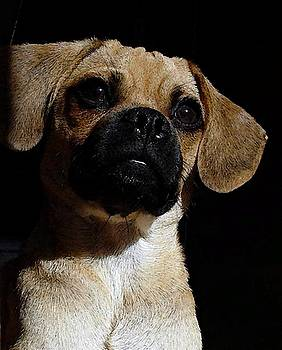 Puggle Dog Portrait by Olde Time  Mercantile