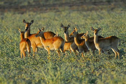 Puku Herd by Stefan Carpenter