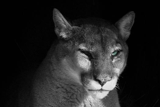 Puma by Andrea Dale