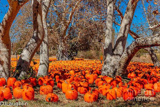 Pumpkin Patch by DJ Laughlin