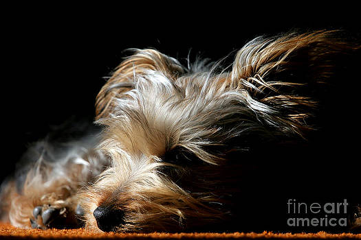 Puppy In Repose by Lincoln Rogers