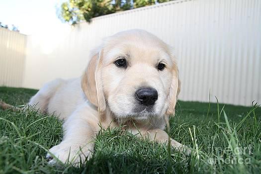 Puppy innocence by Crystal Beckmann