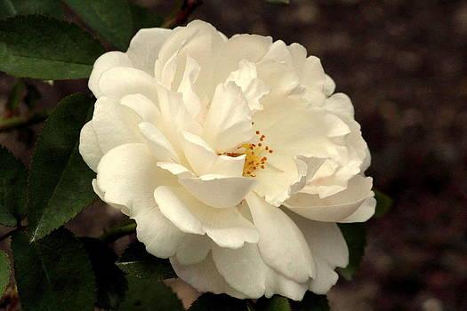 Rosanne Jordan - Pure Love Rose