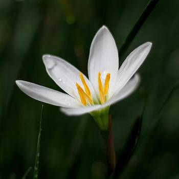 Ramabhadran Thirupattur - Pure White - Lily