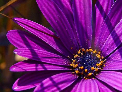 Tracey Harrington-Simpson - Purple African Daisy Close Up