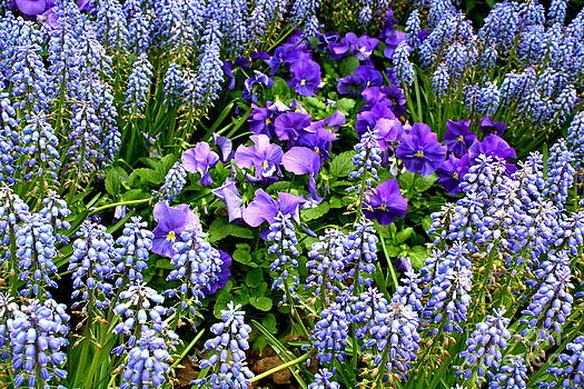 Purple and Blue by Jay Nodianos