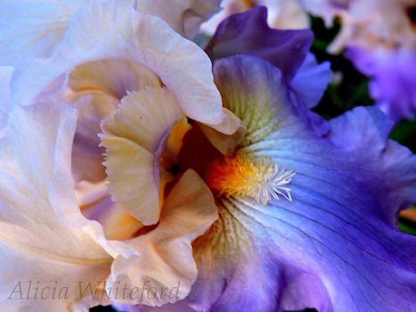 Purple and Cream Iris by Alicia Whiteford