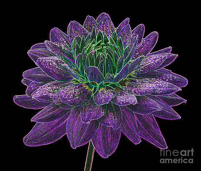 Purple and green dahlia fantasy by Rosemary Calvert