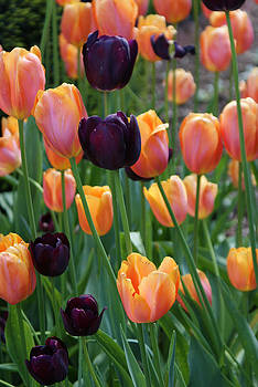 Purple and Orange Tulips by Kristen Mohr