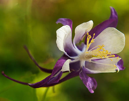 Purple and white aquilegia flower by Sammy Miller
