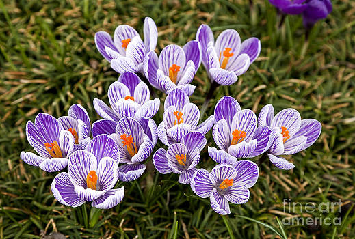 Jill Lang - Purple and White Crocus