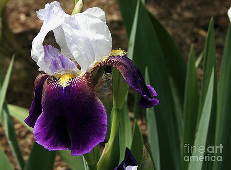 Purple and White Iris Flower by Debra Crank