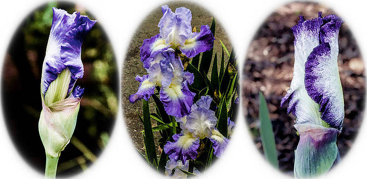 Purple and White Irises by Photographic Art by Russel Ray Photos