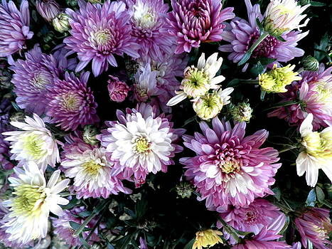 Kate Gallagher - Purple And White Mums
