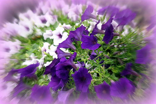 Donna Walsh - Purple and White Petunias