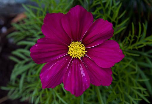 John Daly - Purple and Yellow Brilliance