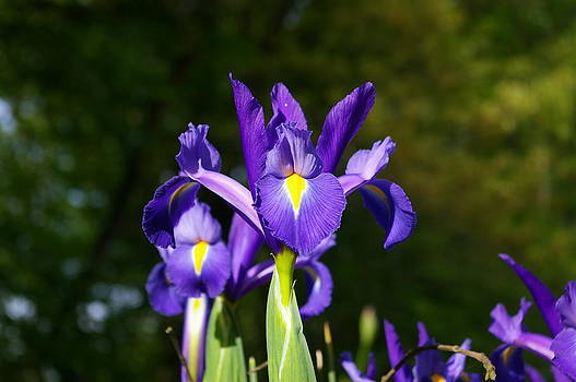 Purple and Yellow Iris by Elizabeth King