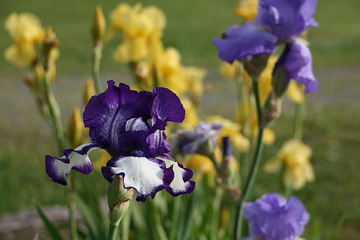 Purple and Yellow Iris by Heather Reeder