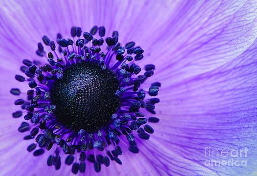 Oscar Gutierrez - Purple anemone flower