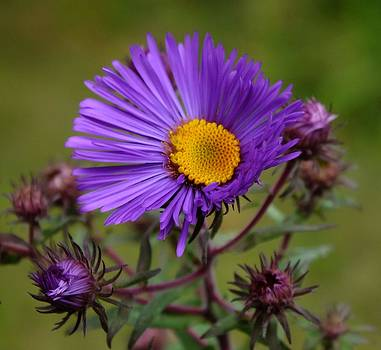 Purple Aster by Christina Shaskus