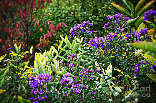 Purple Aster Flowers Of Autumn by Miss Dawn