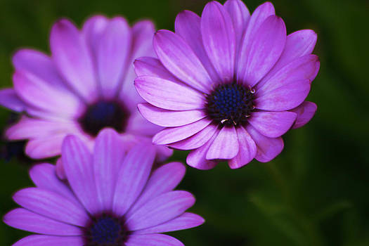 Regina  Williams  - Purple Aster