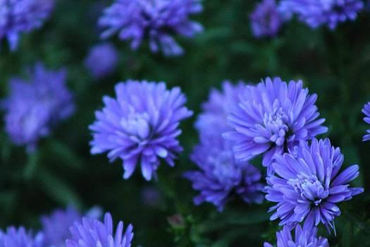 Purple Aster by Rhonda Humphreys