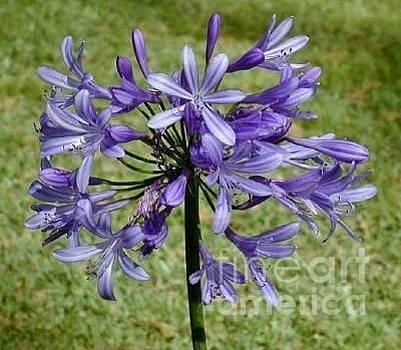 Butch Phillips - Purple Beauty