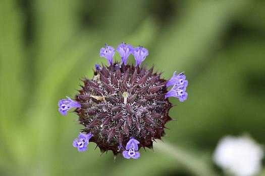 Purple beauty by Luna Curran