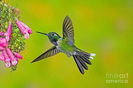 Anthony Mercieca - Purple-bibbed Whitetip Hummingbird