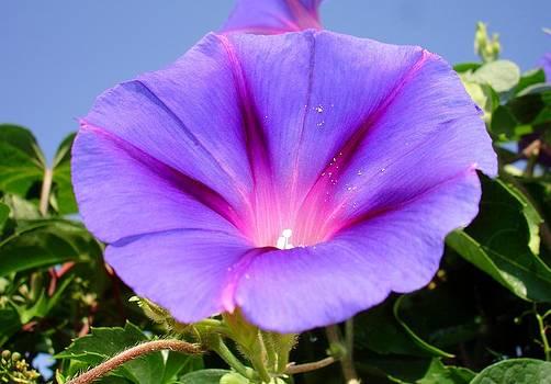 Tracey Harrington-Simpson - Purple Coloured Morning Glory Garden Background