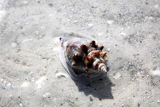 Danielle Groenen - Purple Conch Shell