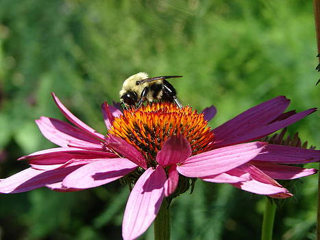 Purple Cone Flower and Bee by Cynthia Templin