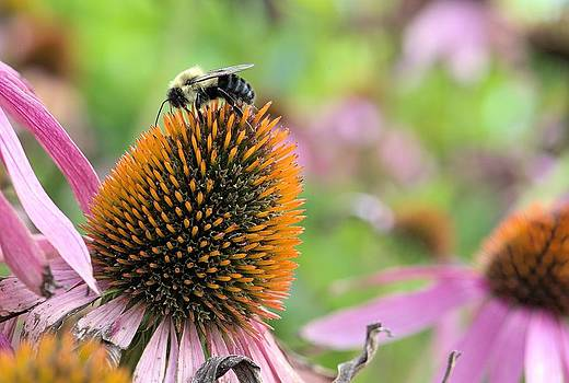 Purple Coneflower and Guest by Andrew Miles